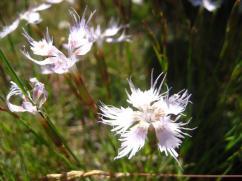 Dianthus hyssopifolius - clavell blanc -