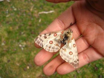 darrere de la papallona apol·lo Parnassius apollo