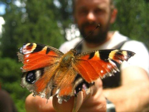 papallona paó de dia - Inachis io