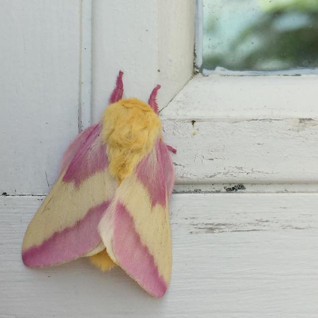Welcome back rosy maple moth! Weve been waiting for youhellip