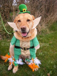 Happy St Patrick's greetings from my pet Labrador Candy