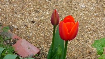 A lovely Tulip