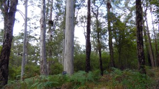 Dean is at the base of the karri tree