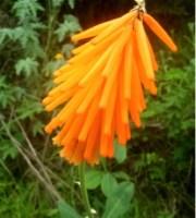Kniphofia triangularis subsp. triangularis