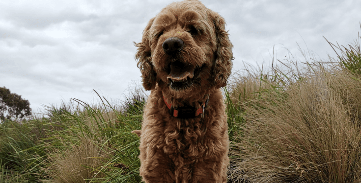 Spoodle Wolf – writers and their dogs