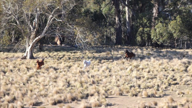 Australia's wild horses, Brumbies in the Snowy Mountains