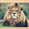 Lion as leader