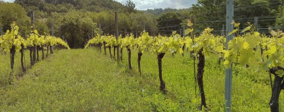 vineyard at Marpeau