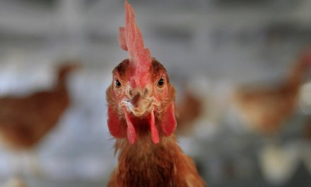 Oregon passes law mandating all eggs sold must come from cage-free hens
