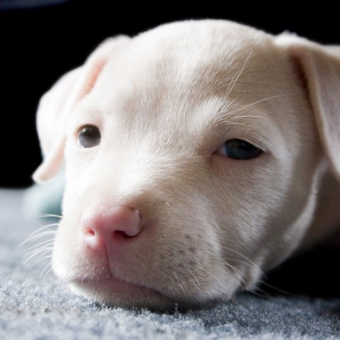 These 11 dog breeds are most often blacklisted by insurance companies