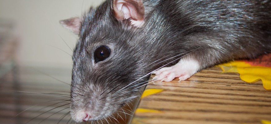 These are the top 50 rat-infested cities in America