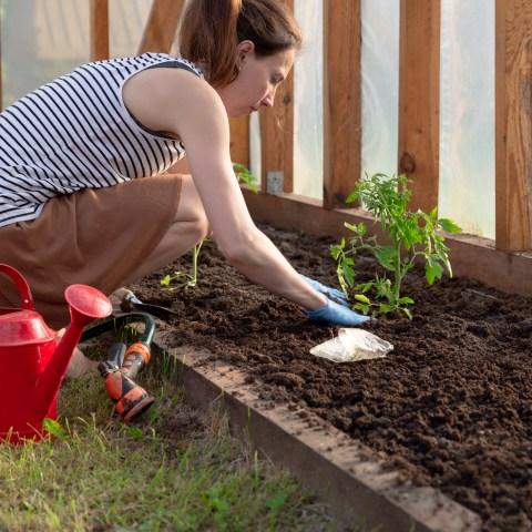 Woman growing tomatoes