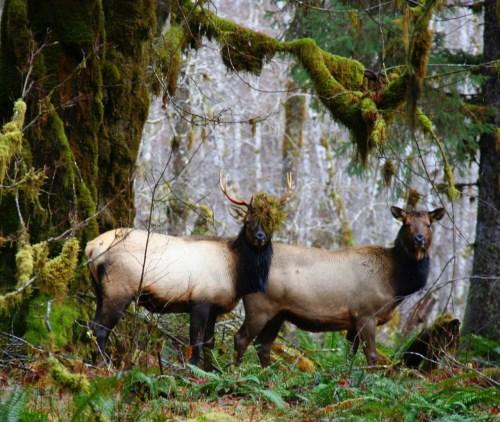 Quinault Rainforest Elk in the Quinault