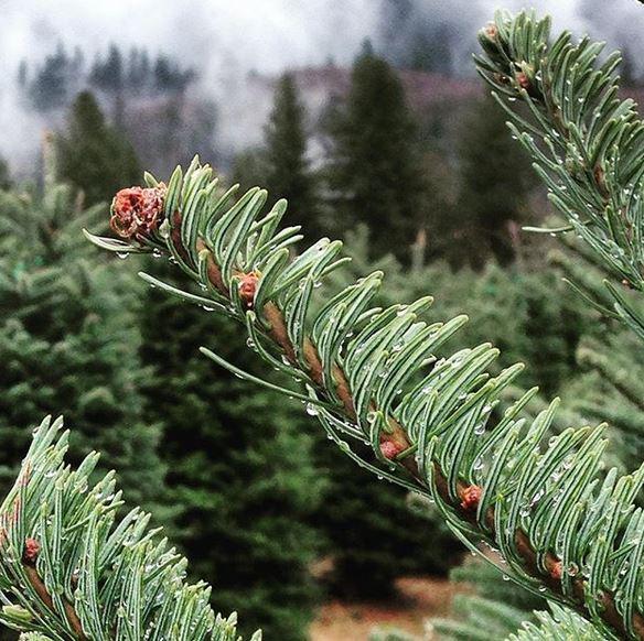 U Cut Christmas Trees.U Cut Christmas Tree Farms Make Your Holidays Merry Around