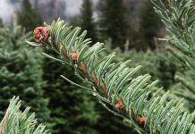 u-cut christmas tree