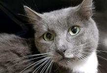 Humane Society of Southwest Washington Featured Pet Amberanna