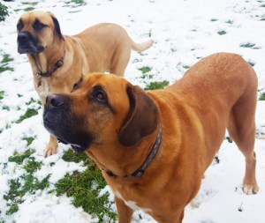 Half Moon Farm Myya and Misha Mastiffs