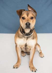 Humane Society for Southwest Washington Pet of the Week Benji
