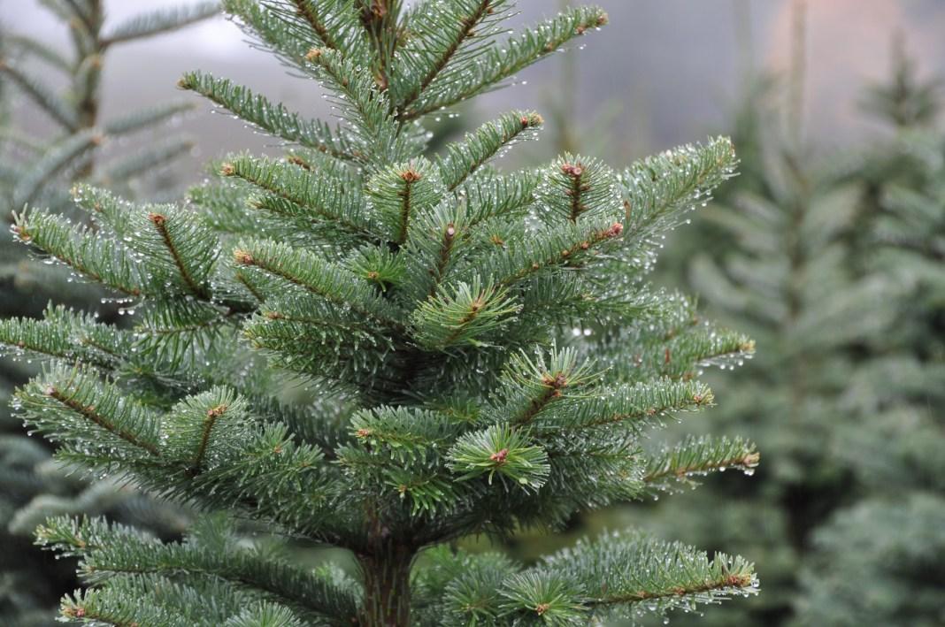 Christmas Tree Farm Clark County Klopman Farms 3