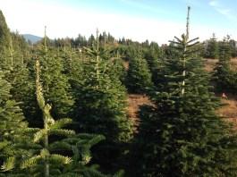 2020 christmas tree farms clack count fischer u cut