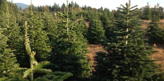 2020 christmas tree farms clack count fischer u cut