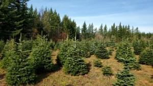 2020 christmas tree farms clark county Farrell Farms 1