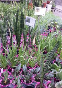 Sm Succulents