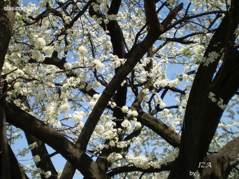 natura-pomi infloriti-primavara