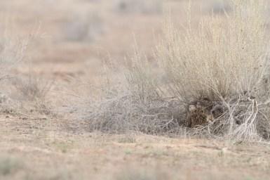 Short-eared owl, Hibou des marais, Asio flammeus