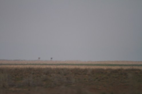 Camel, Chameau