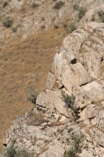Saker falcon, Faucon sacre, Falco cherrug