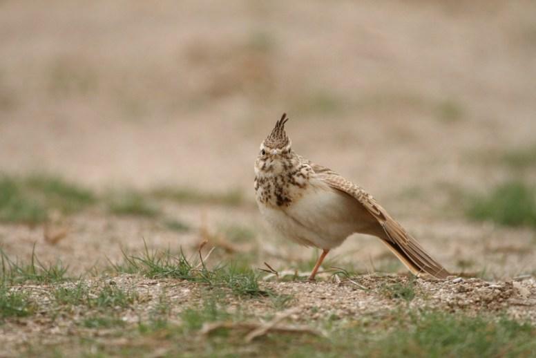 Crested lark, Cochevis huppé, Galerida cristata