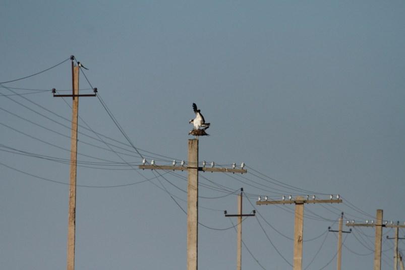 Osprey, Balbuzard pêcheur, Pandion haliaetus