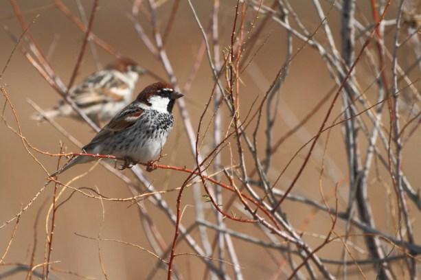 Spanish sparrow, Moineau espagnol, Passer hispaniolensis
