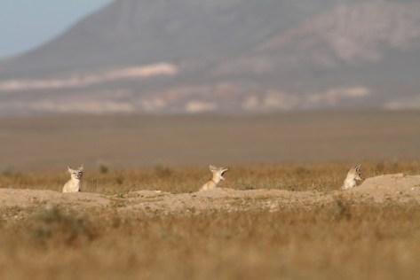 Corsac fox, Renard corsac, Vulpes corsac