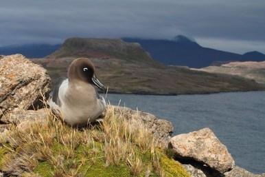light-mantled sooty albatross, Albatros fuligineux à dos clair, Phoebetria palpebrata
