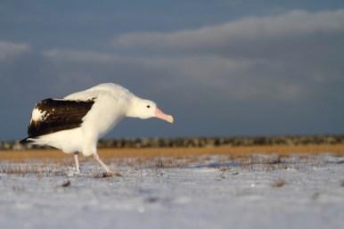 Wandering albatross, Albatros hurleur, Diomedea exulans