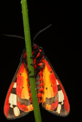 Cream-spot tiger, Ecaille fermière, Arctia villica