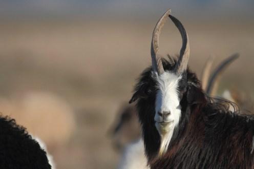 goat, chèvre