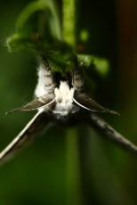 Lesser puss moth, l'Hermine, Cerura erminea