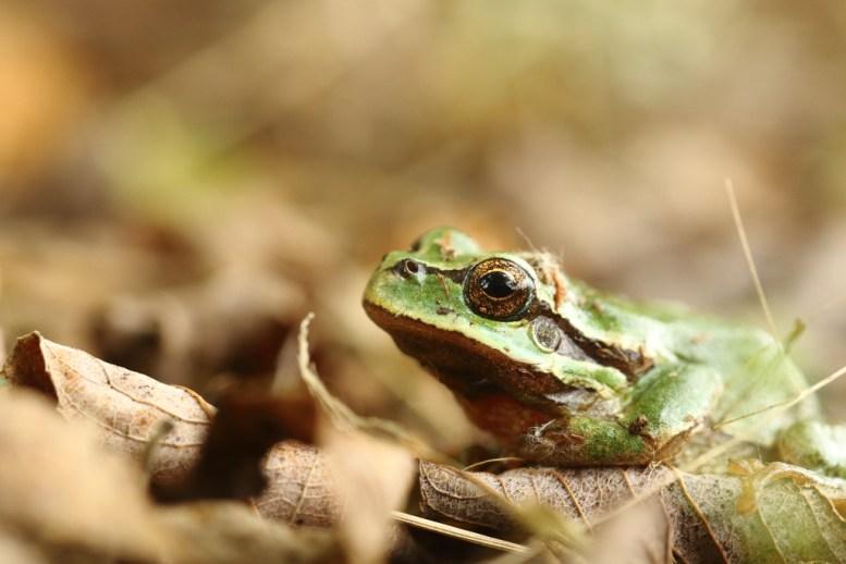 European tree frog, Rainette verte, Hyla arborea