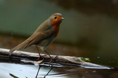 European robin, Rougegorge familier, Erithacus rubecula