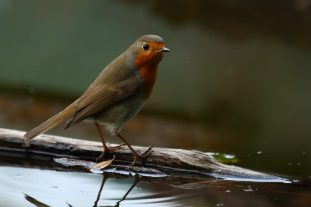 European robin, Rougegorge familier, Erithacus rubecula