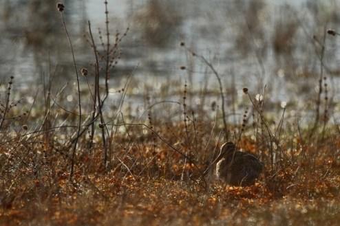 Common snipe, Bécassine des marais, Gallinago gallinago
