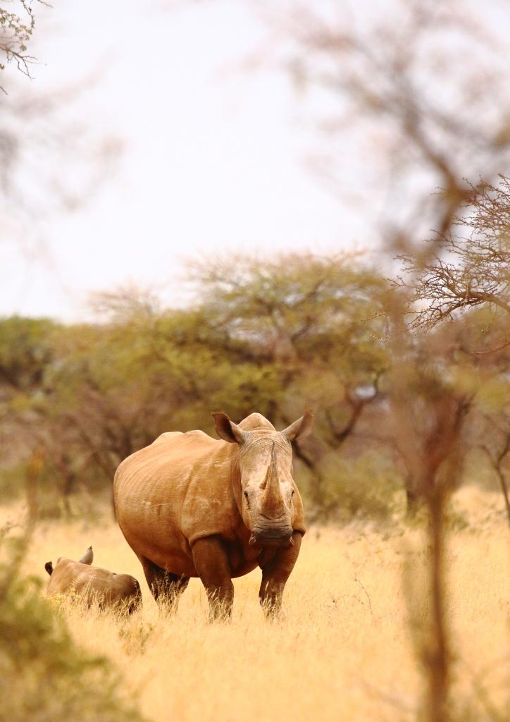 White rhinoceros, Rhinocéros blanc, Ceratotherium simum