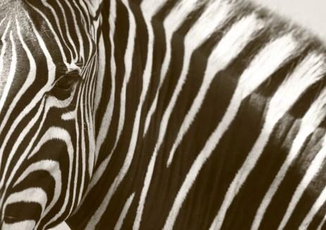 Plains Zebra, Zèbre des plaines, Equus quagga