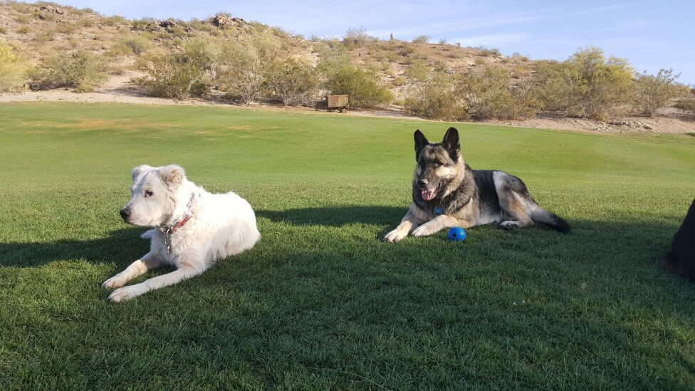 Juno and Max relaxing on the golf course.