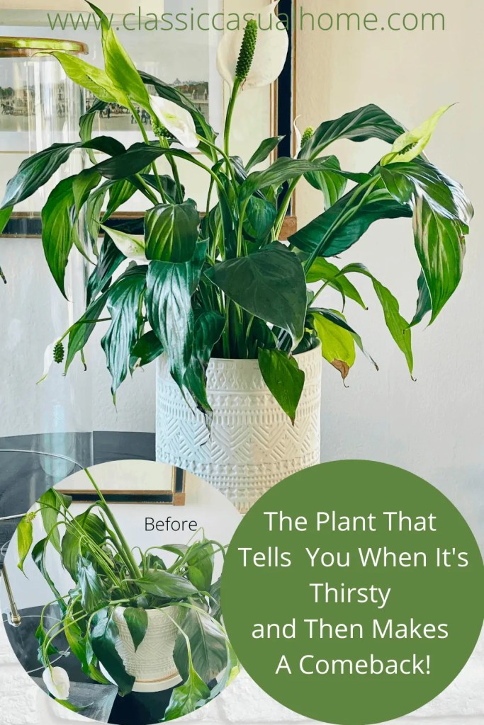 Peace Lily Easy Care Plant