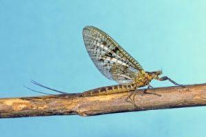 Photo of Brown Drake Mayfly