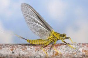 Photo of Western Green Drake Mayfly
